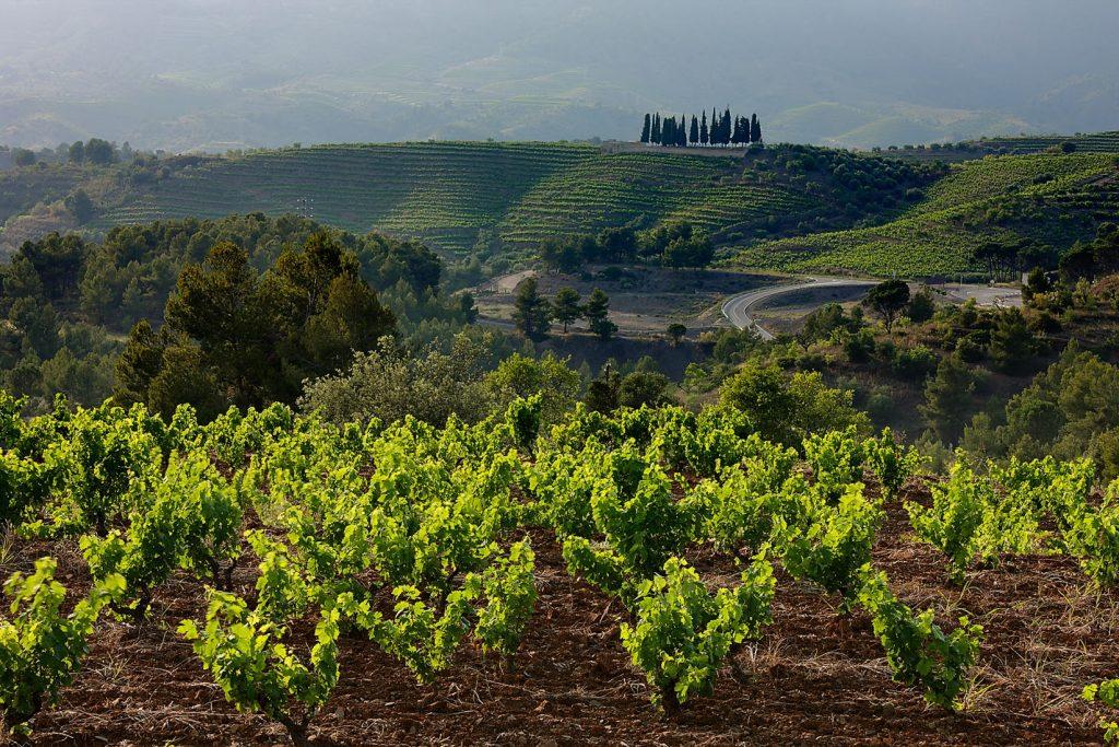 Hier sehen wir mehrere Weinfelder. Ganz vorne auf dem Weinfeld sehen wir wie neue Reben sprießen. Zwischen den einzelnen Weinfeldern sehen wir vereinzelt Bäume.
